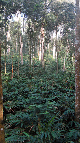 A cardamom estate in Idukki district